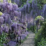 Сад глицинии, Weinheim, Германия